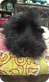 Guinea Pig for adoption in Pittsburgh, Pennsylvania - Blackie