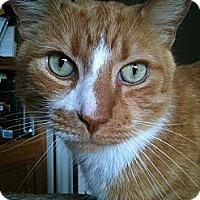 Adopt A Pet :: Stripes - Gaithersburg, MD