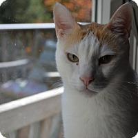 Adopt A Pet :: Habibi - Alexandria, VA
