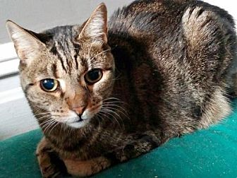Domestic Shorthair Cat for adoption in Brooklyn, New York - Paula - Please Give This Shy Girl a Chance!