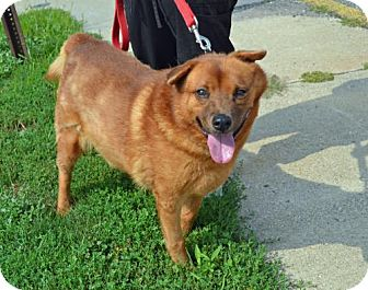 Chow Chow Mix Dog for adoption in Akron, Ohio - Charlotte