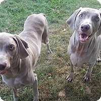 Adopt A Pet :: Biscuit and Scooby - Grand Haven, MI