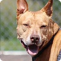 Adopt A Pet :: Honey Bear - Duluth, MN