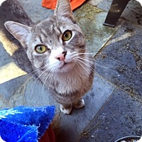 Domestic Shorthair Cat for adoption in North Las Vegas, Nevada - Hugo