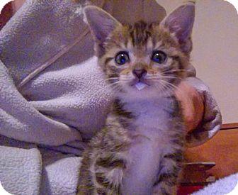 Domestic Shorthair Kitten for adoption in Alexandria, Virginia - Juniper (bonded with Annapolis)