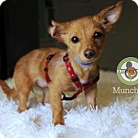 Adopt A Pet :: Munchkin - Oceanside, CA