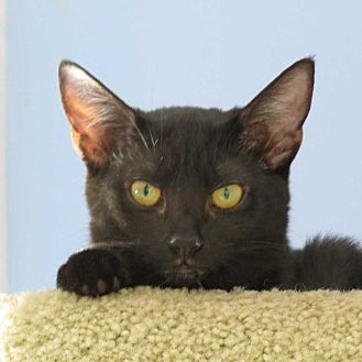 Domestic Shorthair Cat for adoption in Cumberland and Baltimore, Maryland - Sheba