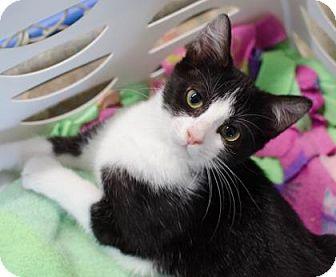 Domestic Shorthair Cat for adoption in Greenwood, South Carolina - Rhapsody