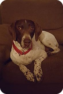 German Shorthaired Pointer Dog for adoption in Omaha, Nebraska - Jake