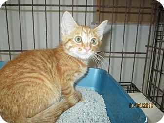 Domestic Shorthair Kitten for adoption in New Smyrna Beach, Florida - Charlie