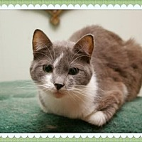 Domestic Shorthair Cat for adoption in Island Heights, New Jersey - Prince