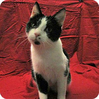 Domestic Shorthair Cat for adoption in Fayetteville, Tennessee - 16-c07-008 Hattie