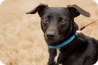 Dachshund Mix Dog for adoption in Lexington, Tennessee - VENUS