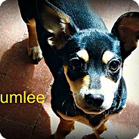 Adopt A Pet :: Chumlee - Tijeras, NM