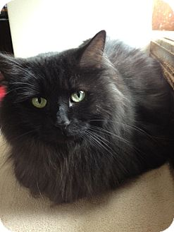Domestic Longhair Cat for adoption in Byron Center, Michigan - Tanya