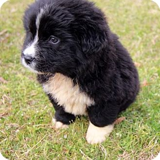Border Collie/Great Pyrenees Mix Puppy for adoption in Charlemont, Massachusetts - Panda