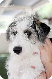 Terrier (Unknown Type, Medium) Mix Puppy for adoption in Mission Viejo, California - Dakota