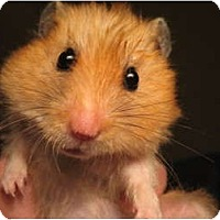 Adopt A Pet :: Teddy Bear & Dwarf Hamsters - Mt Vernon, NY