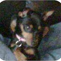 Adopt A Pet :: Skittles - Florissant, MO