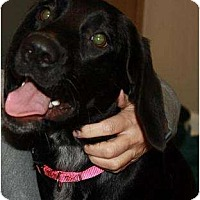 Adopt A Pet :: Ebony - Hagerstown, MD