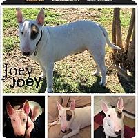 Adopt A Pet :: Joey - Sachse, TX
