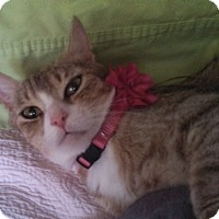 Domestic Shorthair Cat for adoption in Springfield, Pennsylvania - Brianna