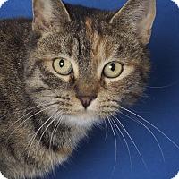 Adopt A Pet :: Kitara - Gilbert, AZ