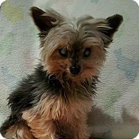 Yorkie, Yorkshire Terrier Dog for adoption in Lehigh, Florida - Squirt