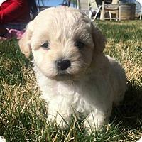 Adopt A Pet :: BEAUTIFUL BABY BOY BICHON FRISE AND POODLE - Surprise, AZ