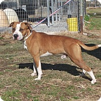 American Bulldog Dog for adoption in Washburn, Missouri - Bullet