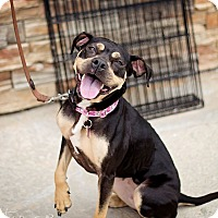 Adopt A Pet :: Chewie - Springfield, MO