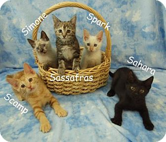 Siamese Kitten for adoption in Elkhorn, Wisconsin - Spark