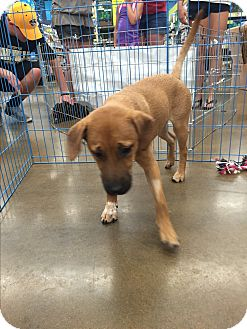 Shepherd (Unknown Type) Mix Dog for adoption in ST LOUIS, Missouri - Dawson
