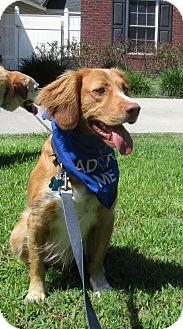 Nova Scotia Duck-Tolling Retriever Mix Dog for adoption in Murrells Inlet, South Carolina - Rufus