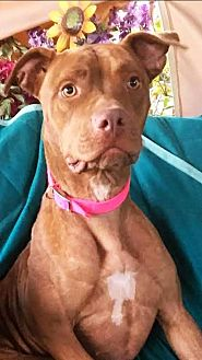 American Staffordshire Terrier Mix Dog for adoption in Toluca Lake, California - Amber