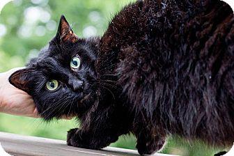 Domestic Longhair Cat for adoption in Cincinnati, Ohio - Casper
