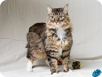Domestic Longhair Cat for adoption in Tulsa, Oklahoma - Leidy
