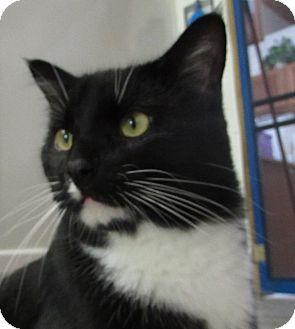 Domestic Shorthair Cat for adoption in Jackson, Missouri - SIMON 2
