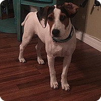 Beagle/Rat Terrier Mix Dog for adoption in Seminole, Florida - Tucker