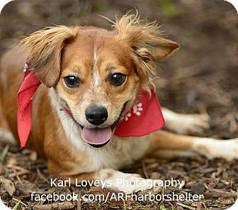 Pomeranian Mix Dog for adoption in Portland, Oregon - Sailor