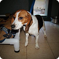 Beagle Dog for adoption in Transfer, Pennsylvania - Jody