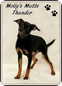 Rat Terrier/Dachshund Mix Dog for adoption in Dixon, Kentucky - Thunder