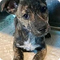 Adopt A Pet :: Storm - Fayetteville, GA