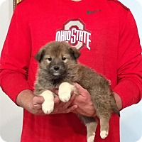 Adopt A Pet :: Teddy - Gahanna, OH