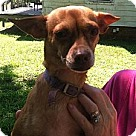 Adopt A Pet :: Trixie