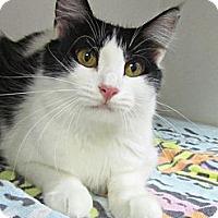 Adopt A Pet :: Amber - Seminole, FL