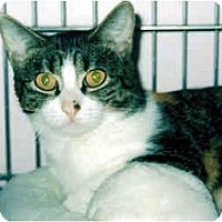 Adopt A Pet :: Callie Cat - Medway, MA