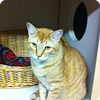 Domestic Shorthair Cat for adoption in Rock Hill, South Carolina - Puddin