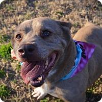 Adopt A Pet :: Corgi - Burleson, TX