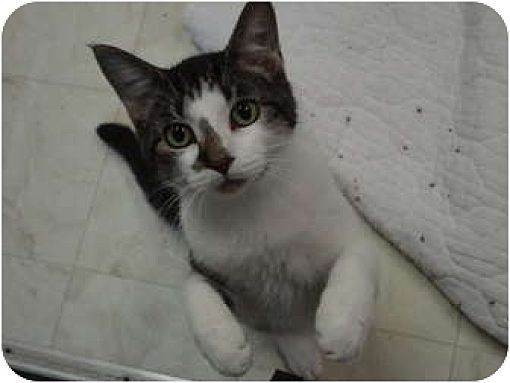 Domestic Shorthair Cat for adoption in MADISON, Ohio - Mikey